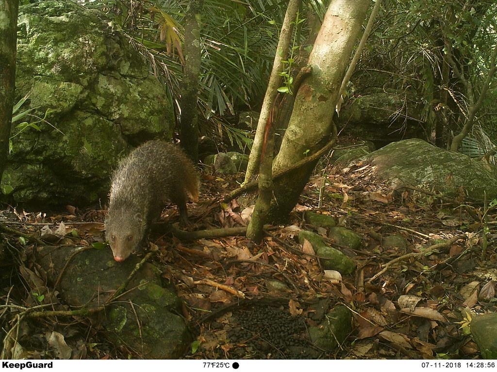 自動攝影機監測到台灣獼猴、台灣野山羊、鼬獾、白鼻心等野生動物出沒活動,圖為食蟹獴。<圖片來源/南投林管處提供>