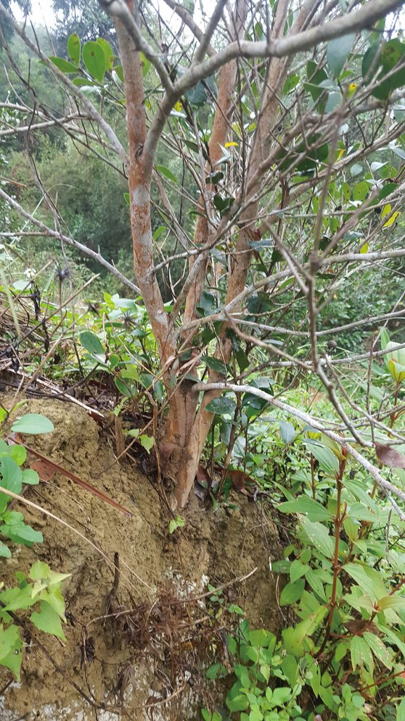 面崖邊側植株容易發生半側葉黃化且根系裸露受損,或是根覆主幹受損。