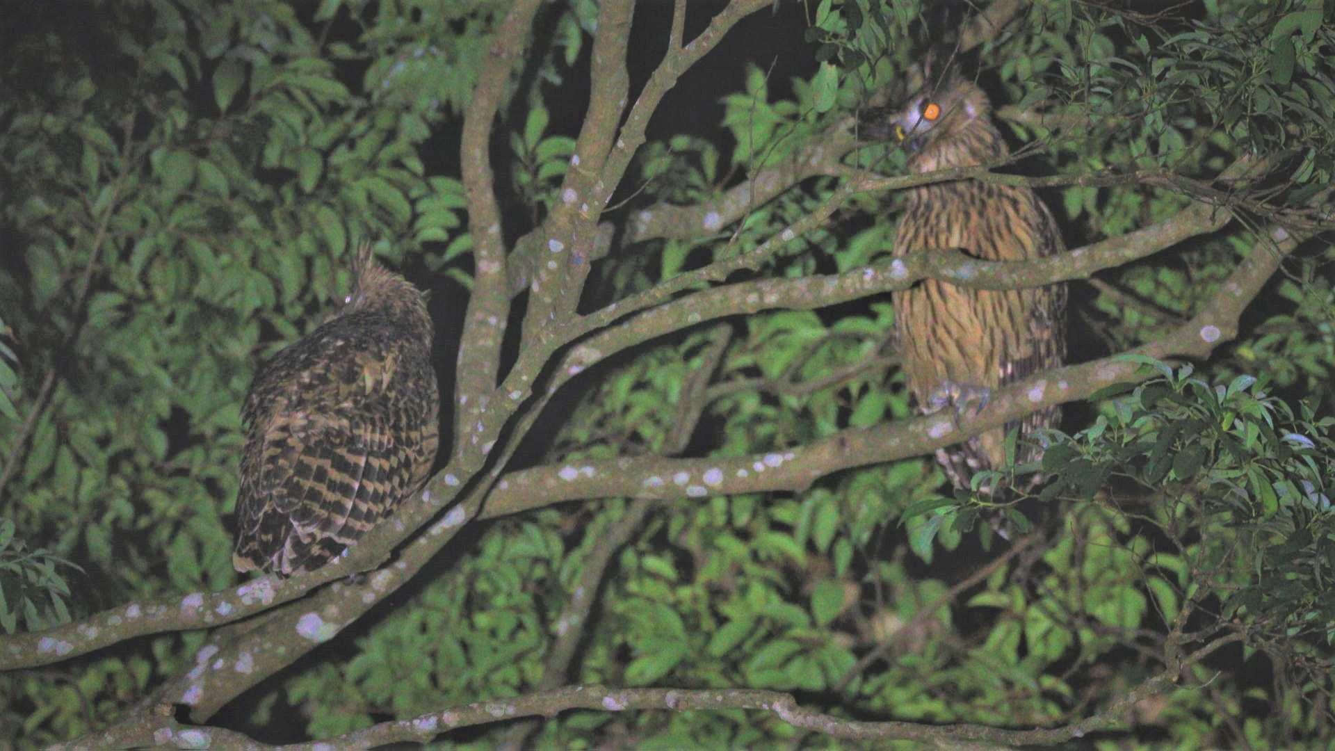 < 黃魚鴞 照片提供/楊世鴻 >